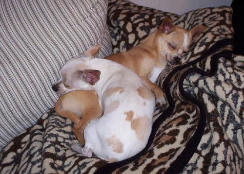 Resultado de imagen para chihuahua dog, sleeping