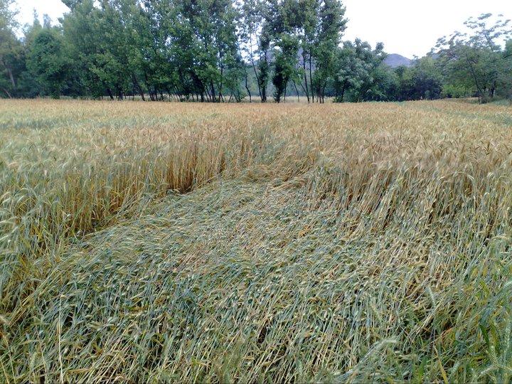 File:Wheat crop after heavy rain & wind.jpg - Wikimedia Commons