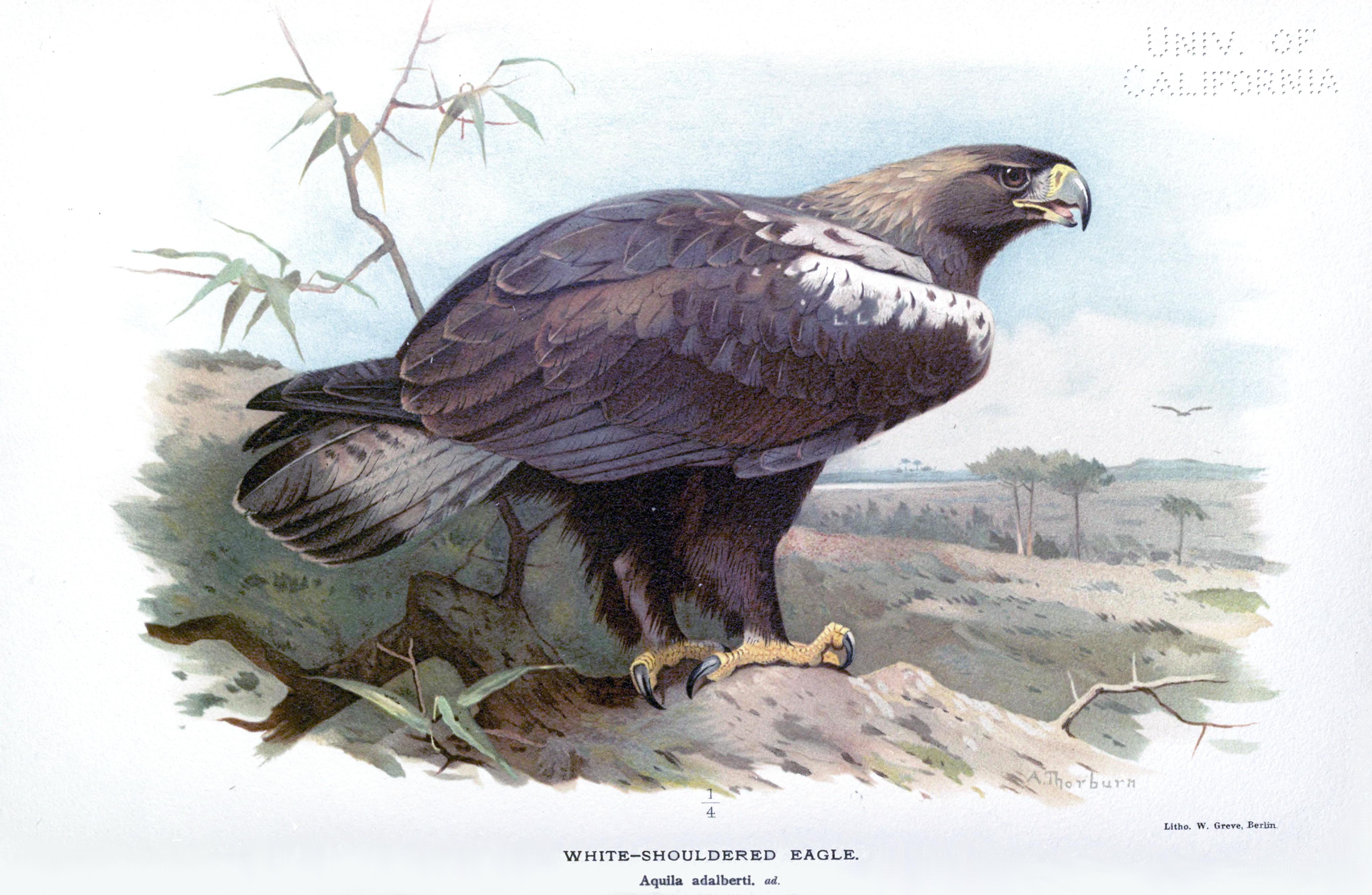 File:White Shouldered Eagle ornithologyofstr00irbyrich 0204.jpg ...
