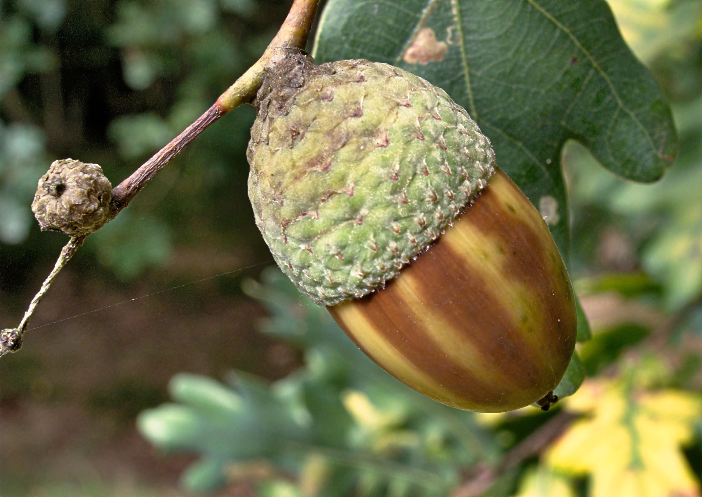 Картинка плодов дуба