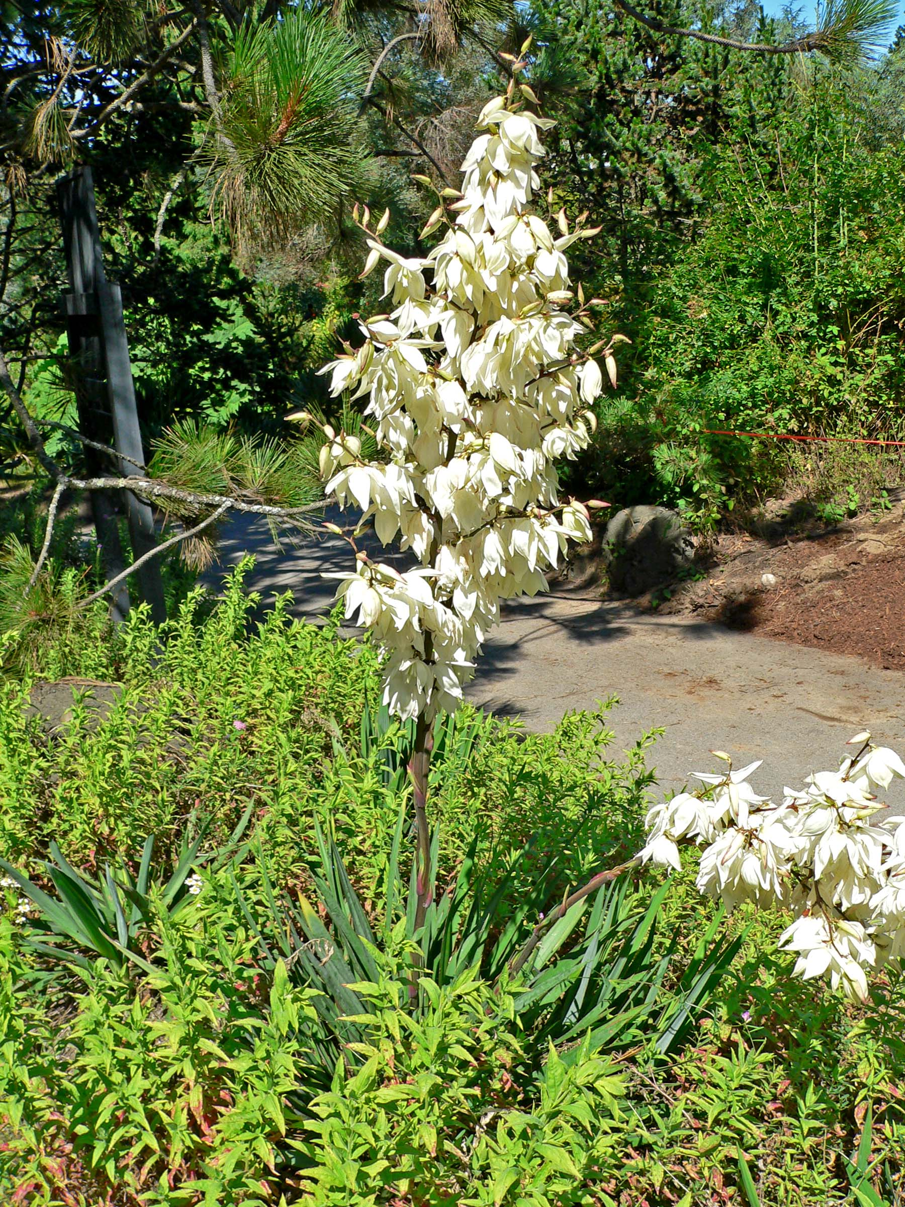 yucca filamentosa adam 39 s needle plant lust. Black Bedroom Furniture Sets. Home Design Ideas
