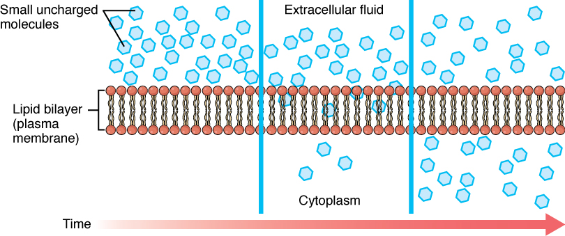 diffusion across biological membranes a simulation As a testament to this, diffusion on the cell membrane is not only highly  anomalous diffusion can arise in many ways, such as through.