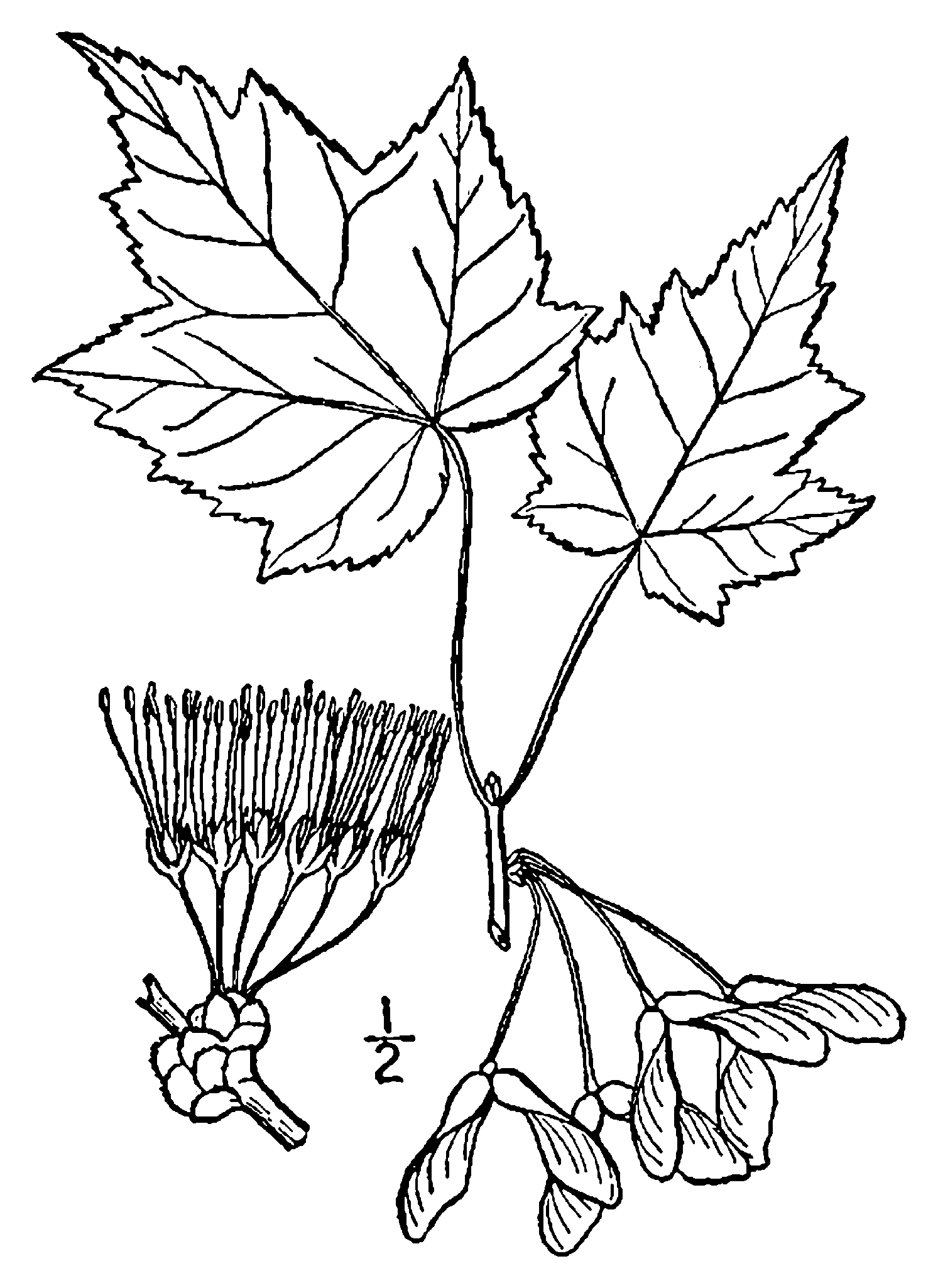 File Acer Rubrum Drawing Png Wikimedia Commons
