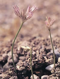 Allium calamarophilon 01.jpg