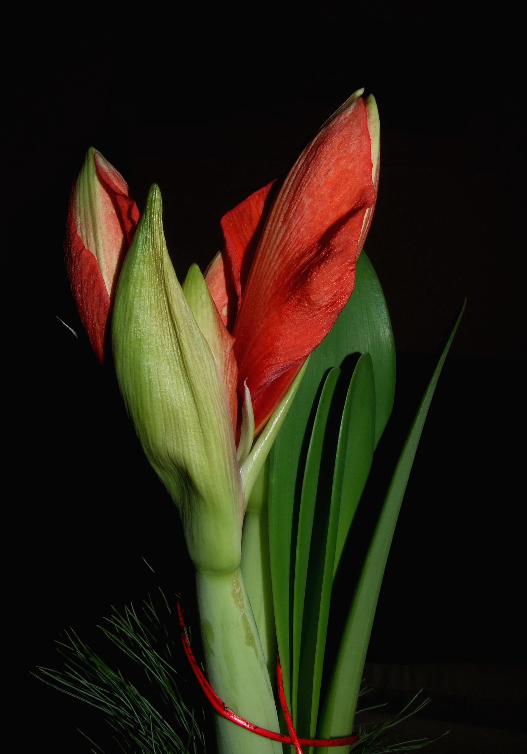 File Amaryllis hippeastrum flowers closed