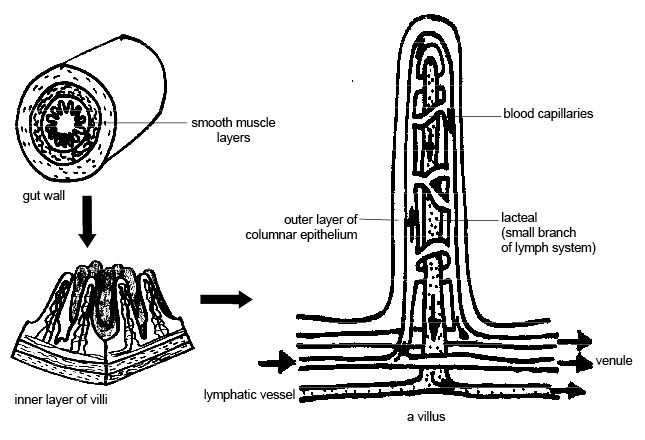 Anatomy and physiology of animals Wall of small intestine showing villi.jpg