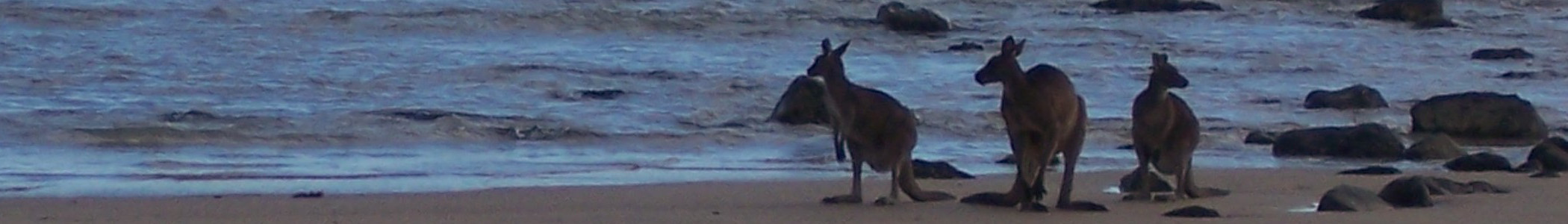 Kangaroos on a beach.