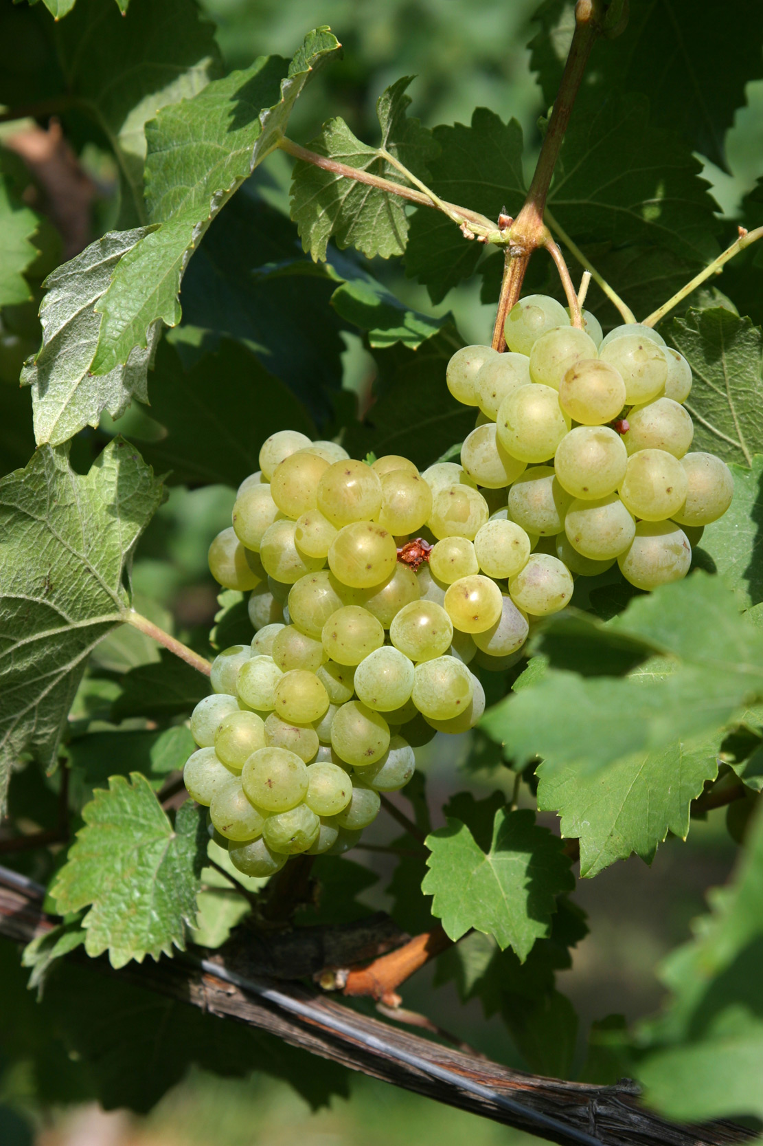 Bacchus (grape) - Wikipedia