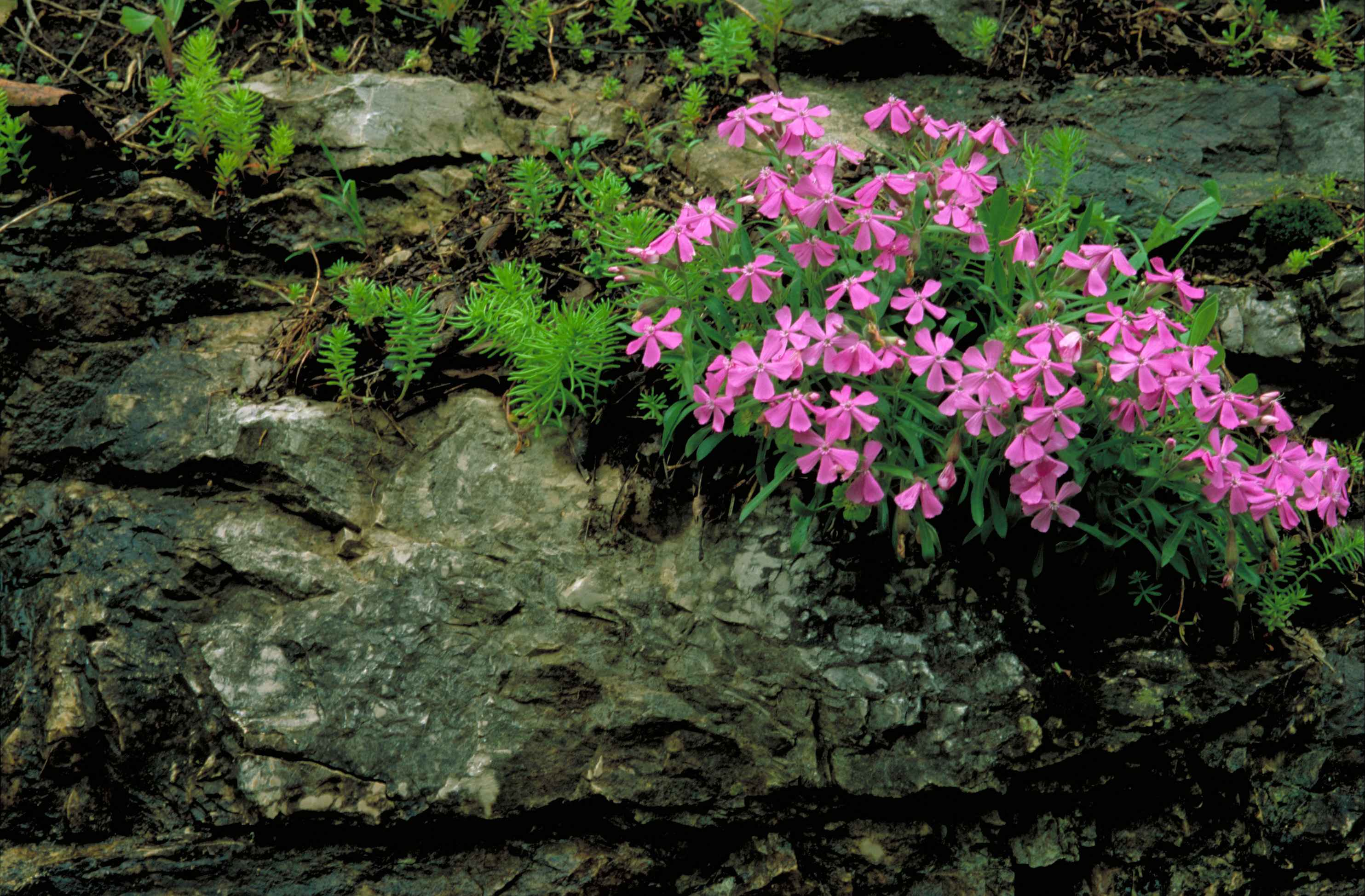 Filecarolina wild pink flower blossoms in rocks and mossg filecarolina wild pink flower blossoms in rocks and mossg mightylinksfo