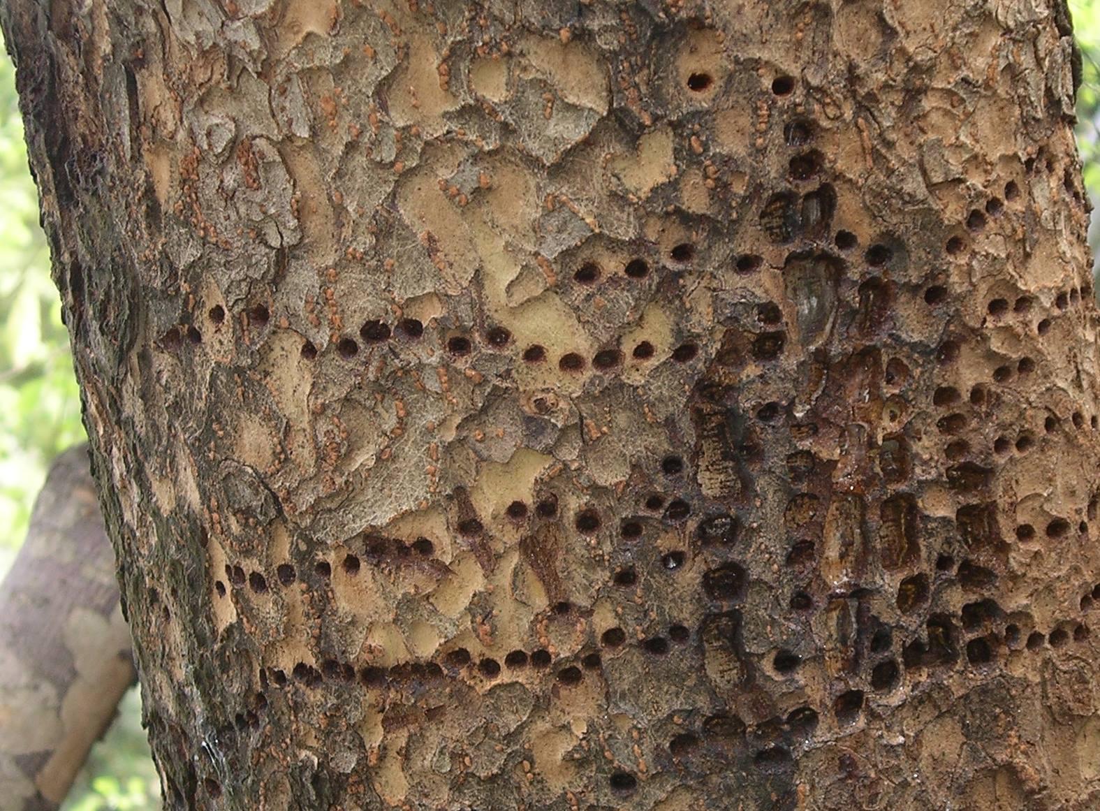 evergreen tree bark background - photo #32