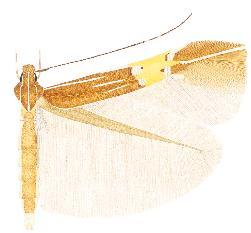 <i>Cosmopterix ebriola</i> species of insect