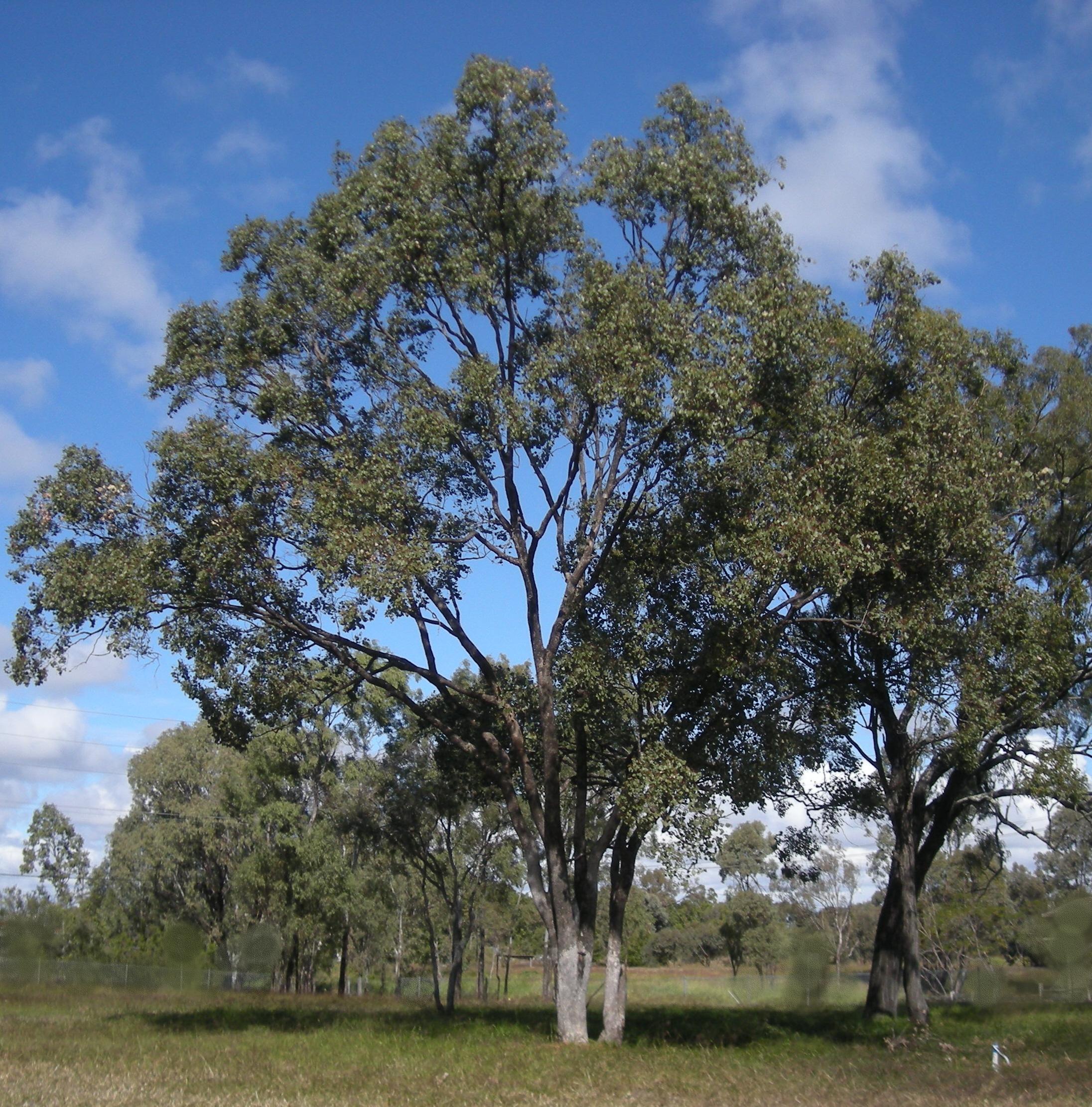 Eucalyptus Tree Pictures 60