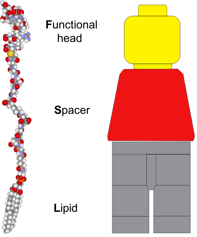Function Spacer Lipid Kode Construct Wikipedia