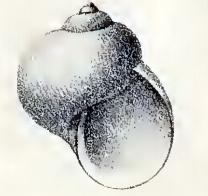 <i>Granigyra</i> Genus of gastropods