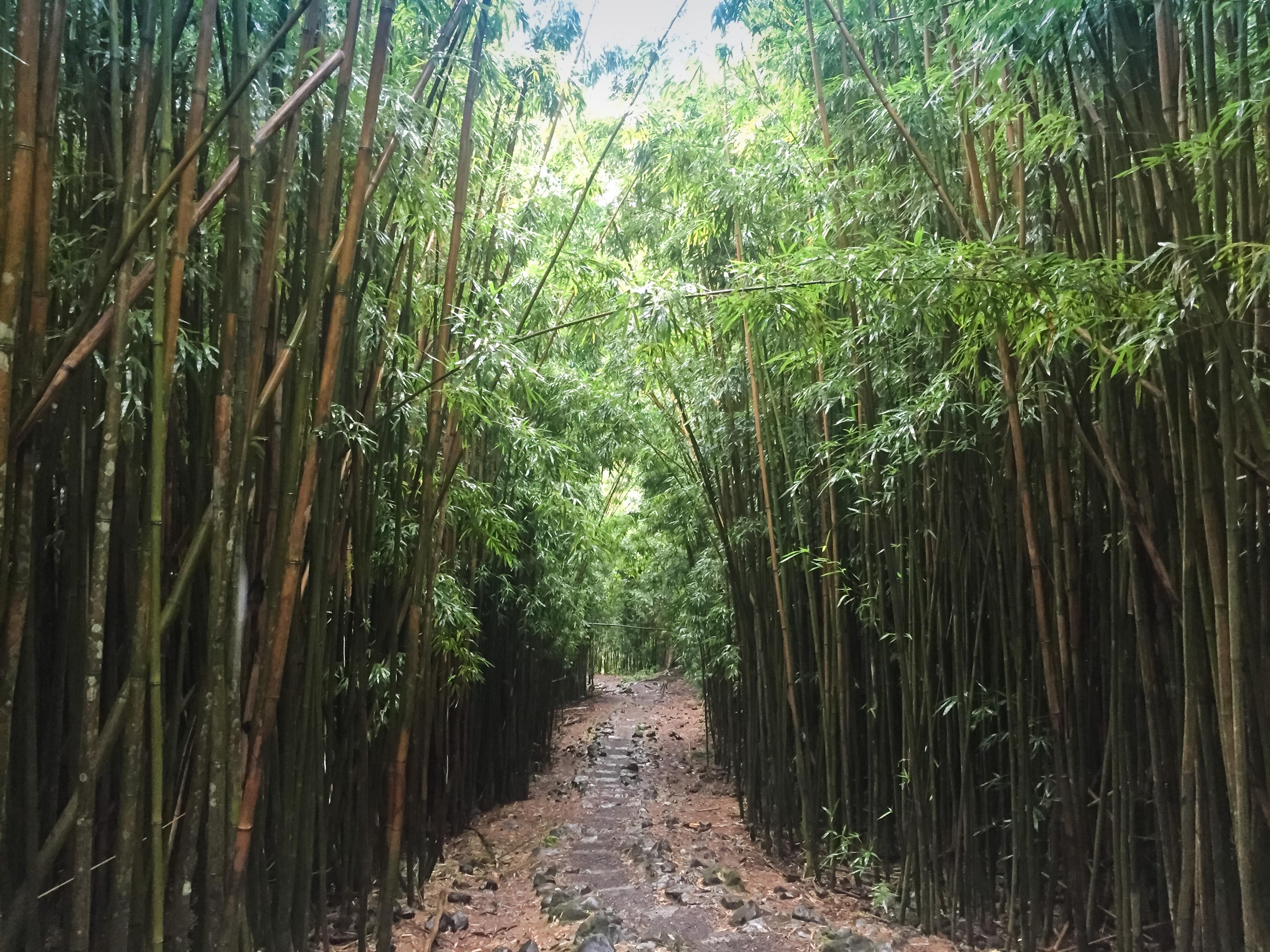 File Hawaii Maui Bambuswald 22028566393 Jpg Wikimedia Commons