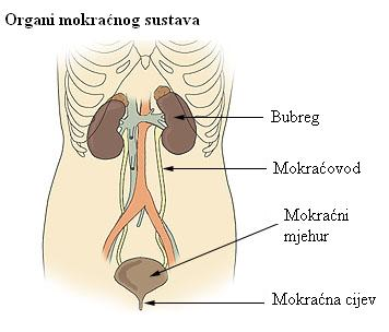 Illu urinary system hr.JPG