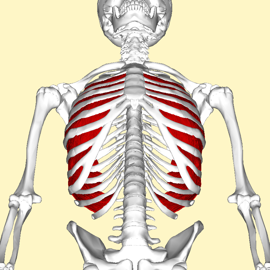 File:Internal intercostal muscles below.png - Wikimedia Commons