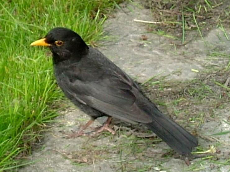 File:Kos (Turdus Merula).jpg
