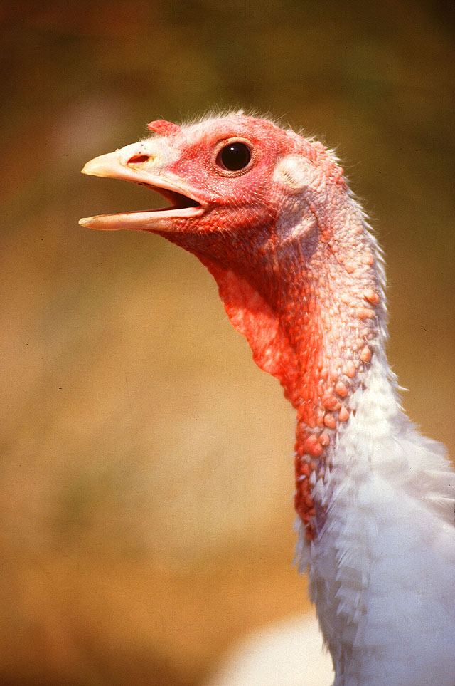 adult female turkey