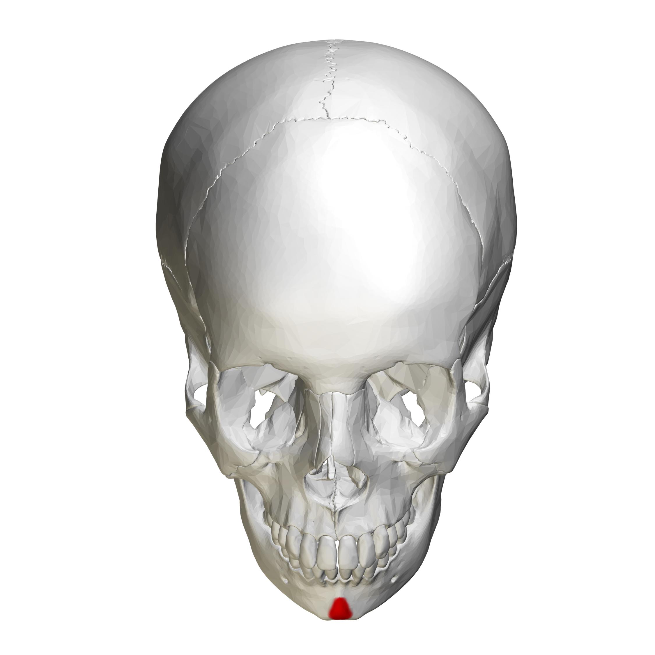 File:Mental protuberance - skull - anterior view02.png - Wikimedia ...