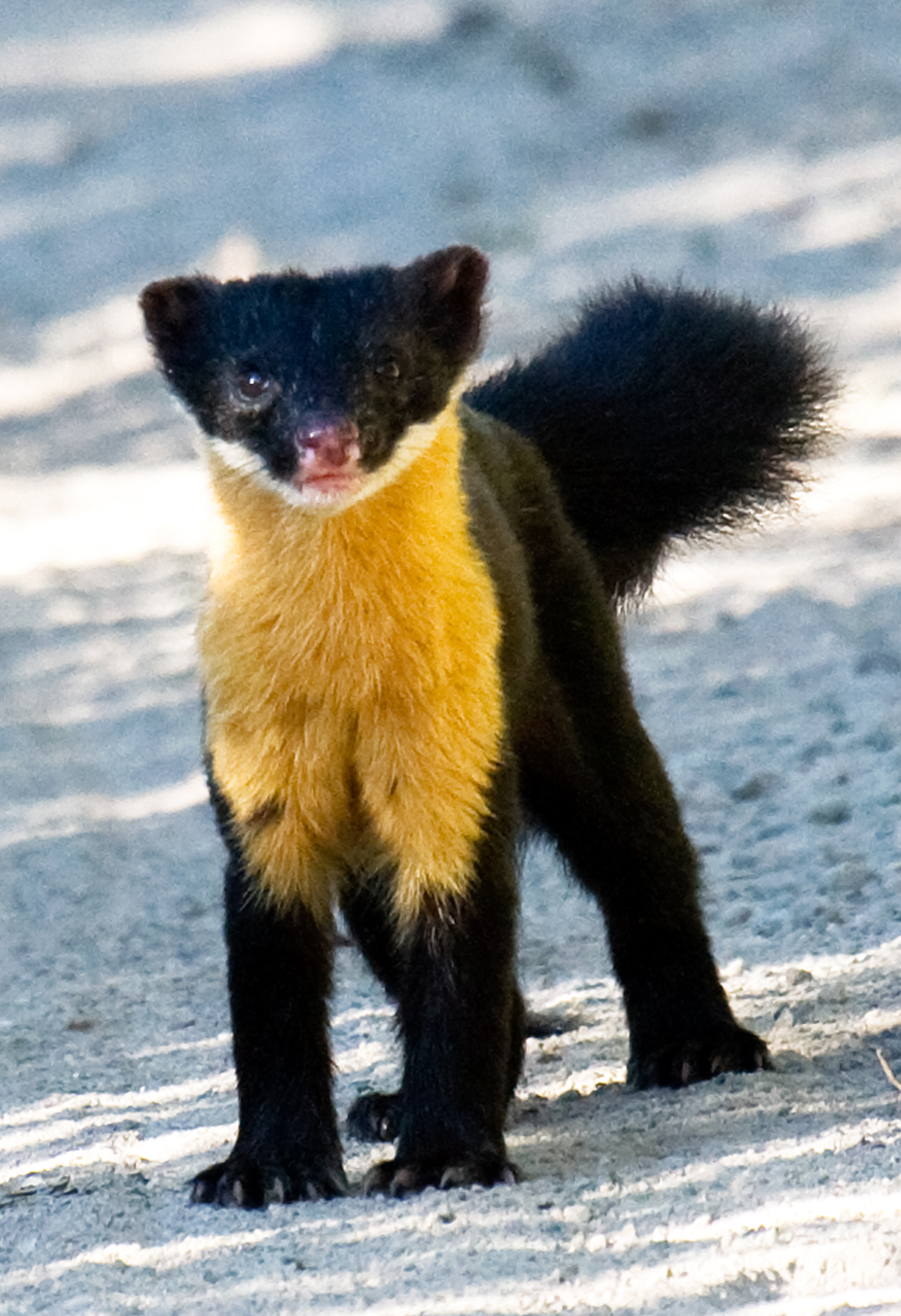 Nilgiri marten native to southern India