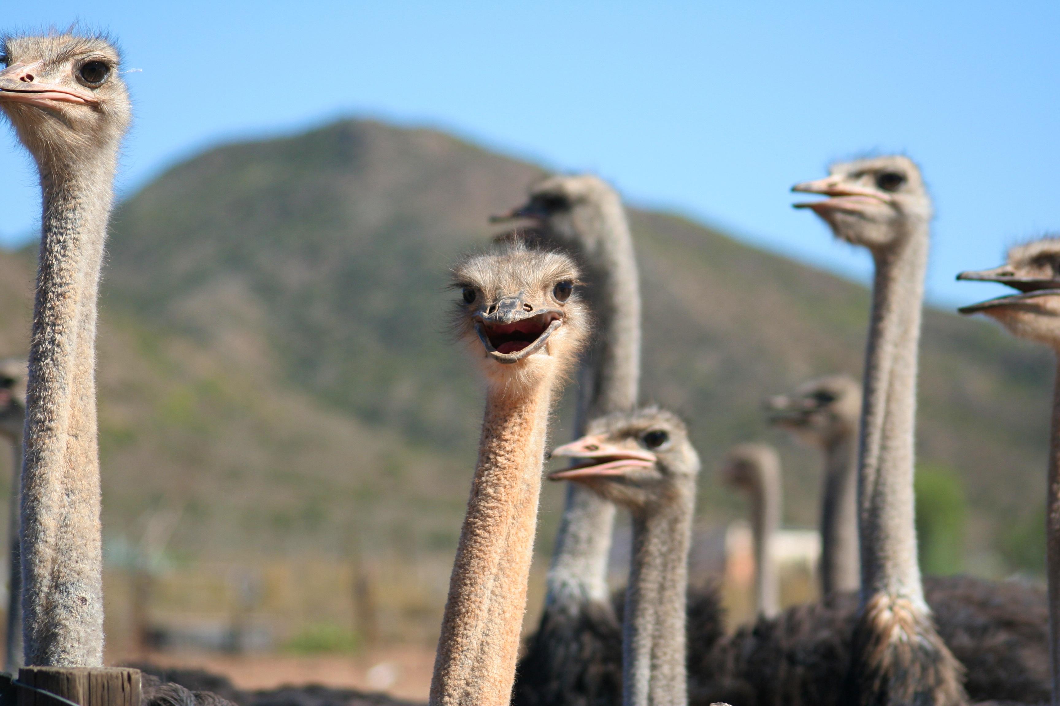 File:Ostrich Farm (6649539209).jpg - Wikimedia Commons