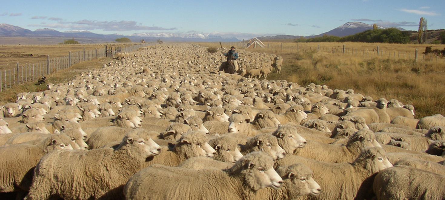 Troupeau de moutons en Argentine