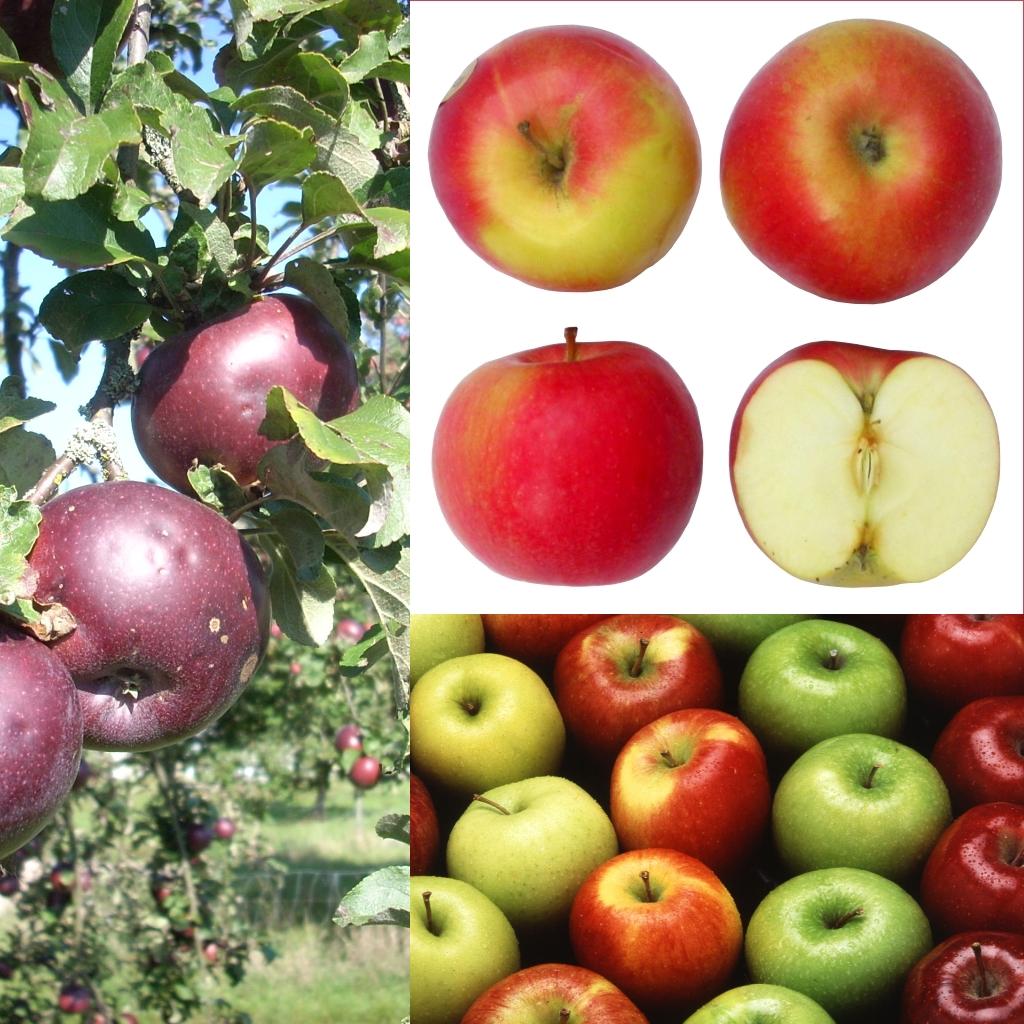 donde se encuentra la vitamina en la manzana