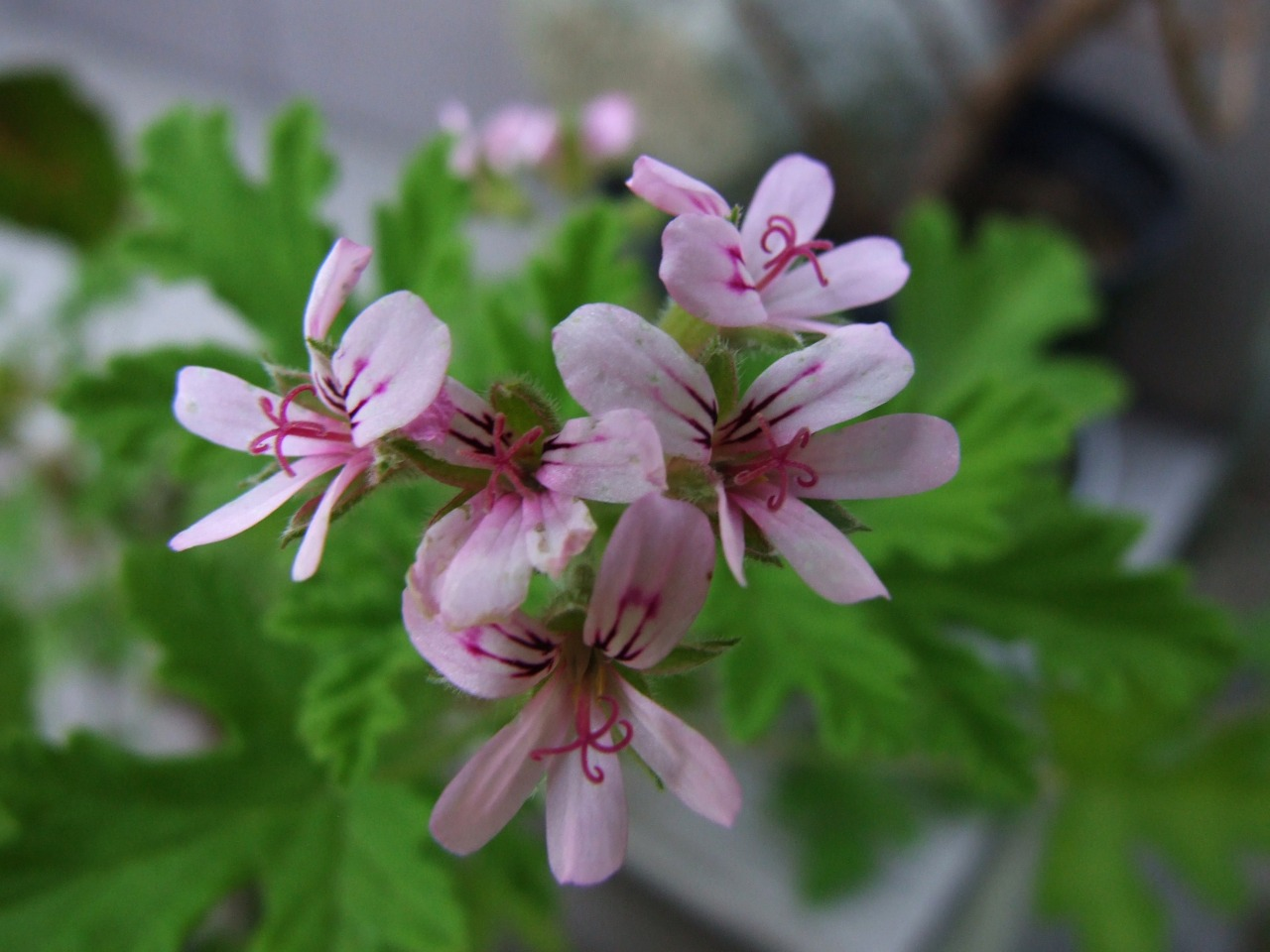 File pelargonium graveolens for Pelargonium graveolens