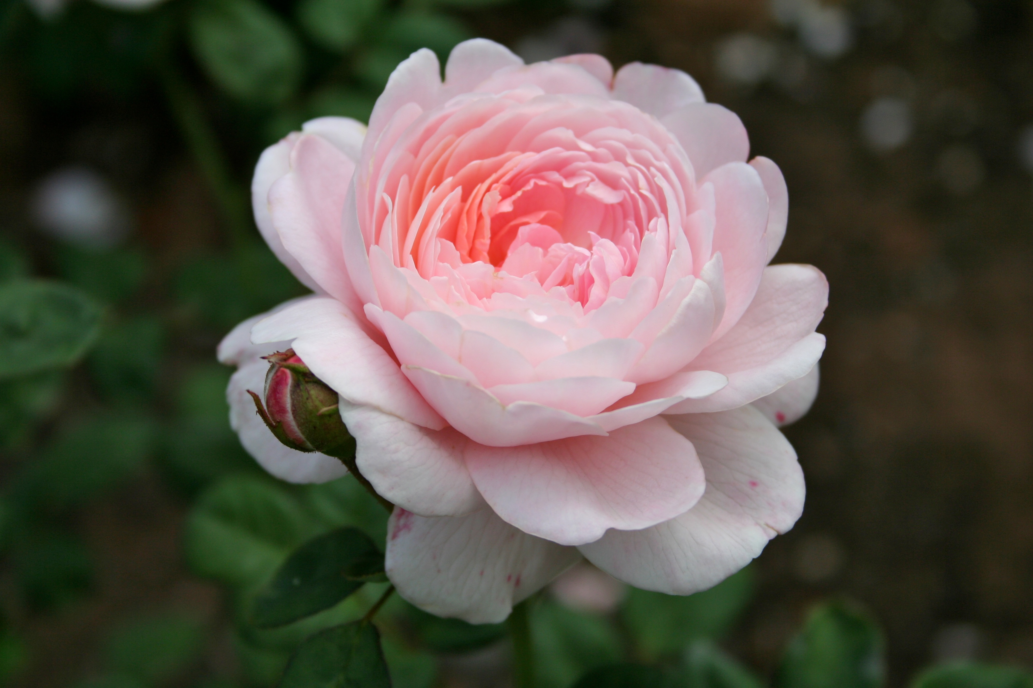 File:Pink rose 1.jpg - 1538.1KB
