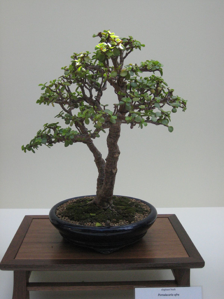 Bonsai Beginnings Portulacaria Afra Pruning