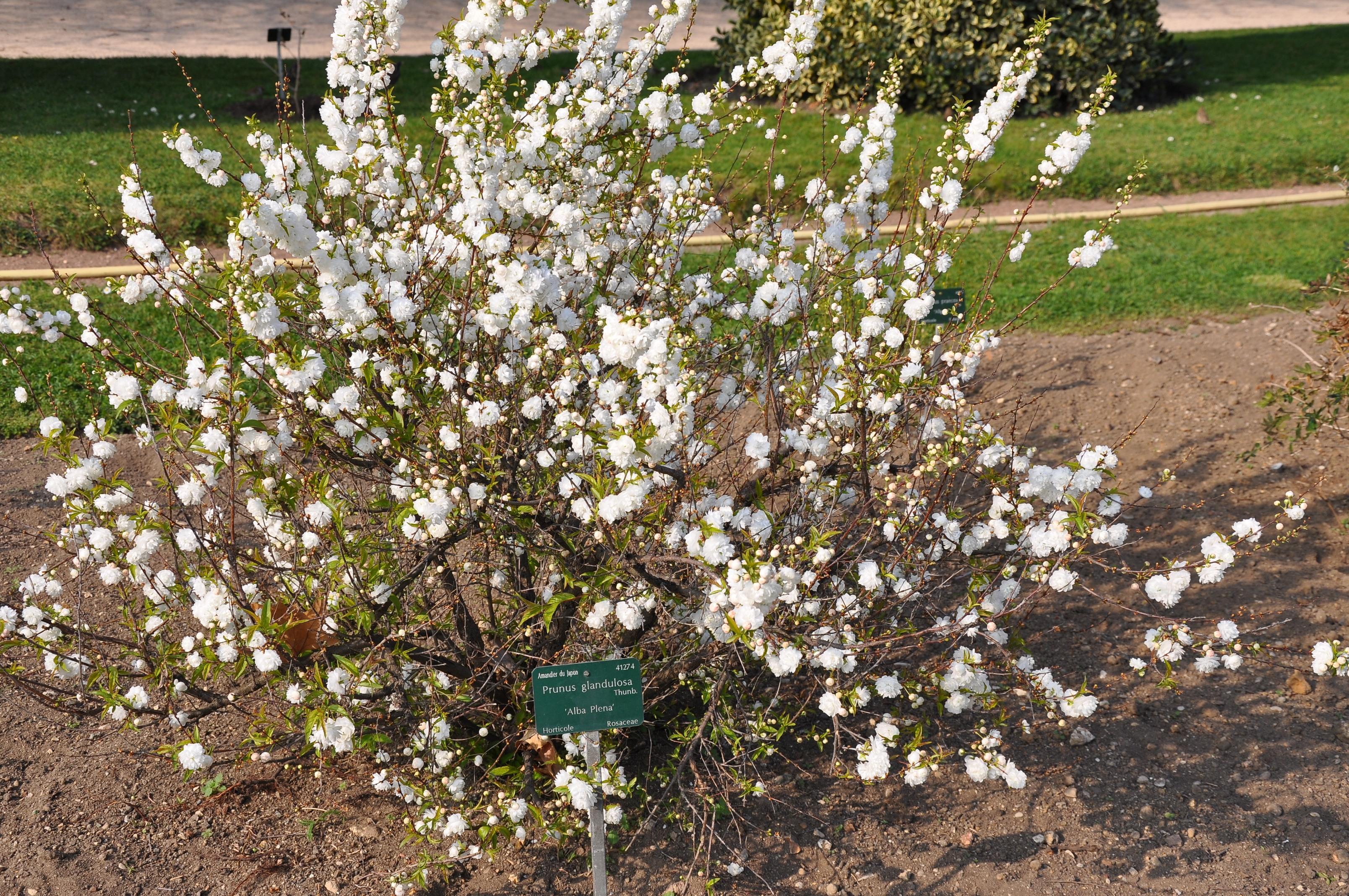 File prunus glandulosa 39 alba plena 39 in the jardin des for Jardin 5e paris
