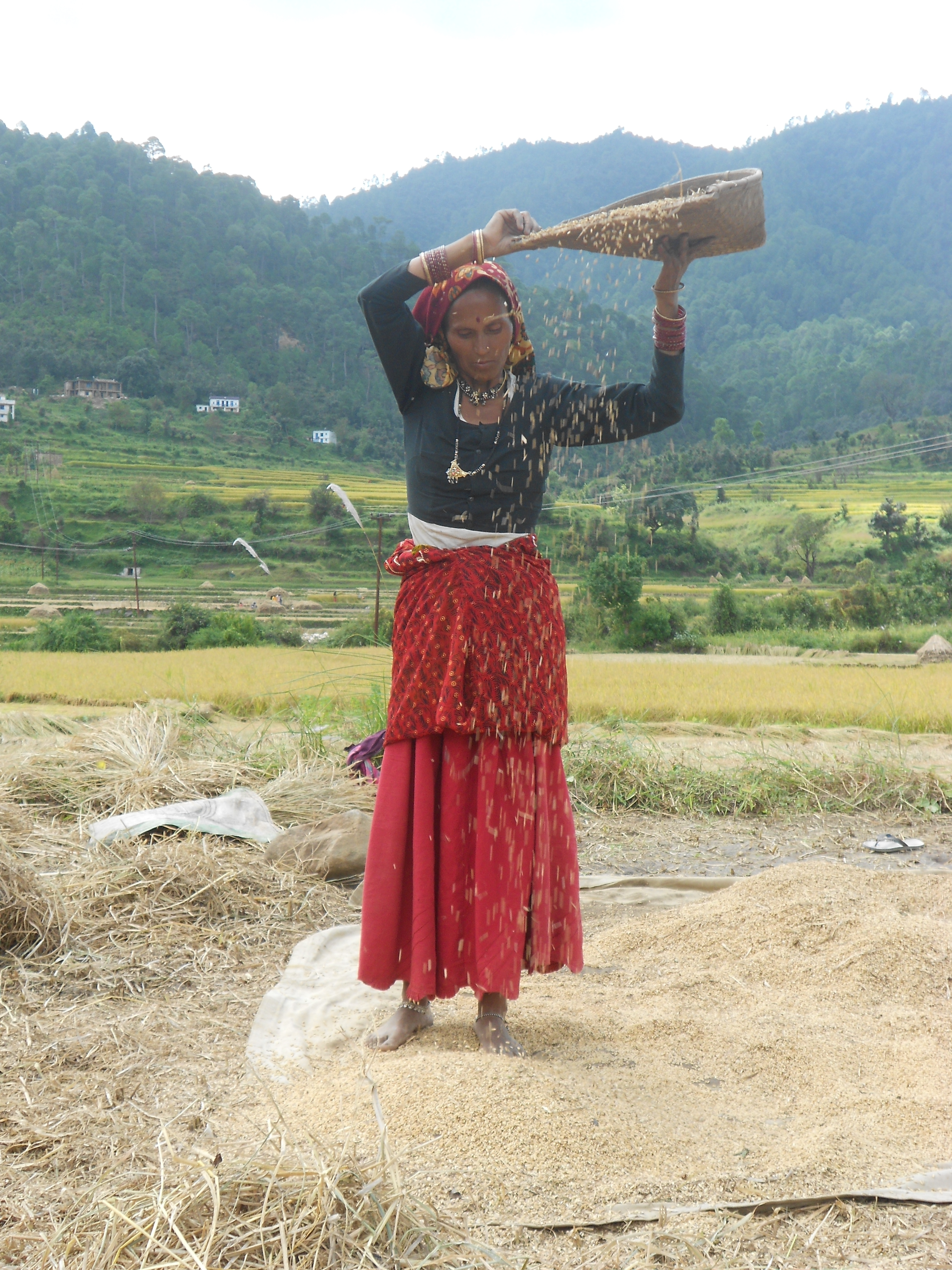 Rice winnowing, Uttarakhand, India.jpg