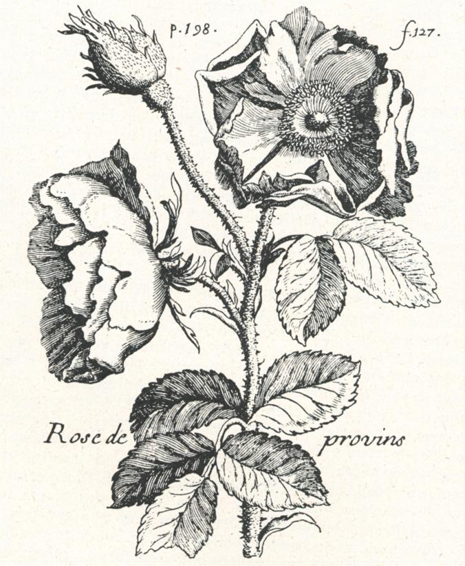 Провенская роза