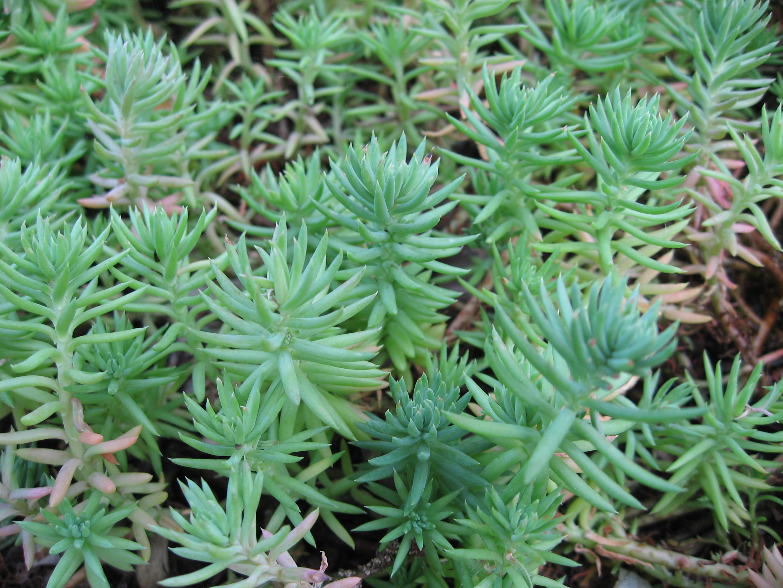 Sedum blue spruce
