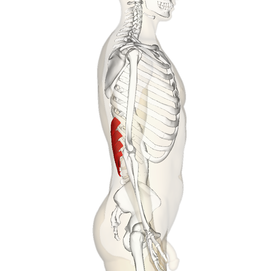 how to build the serratus anterior muscle
