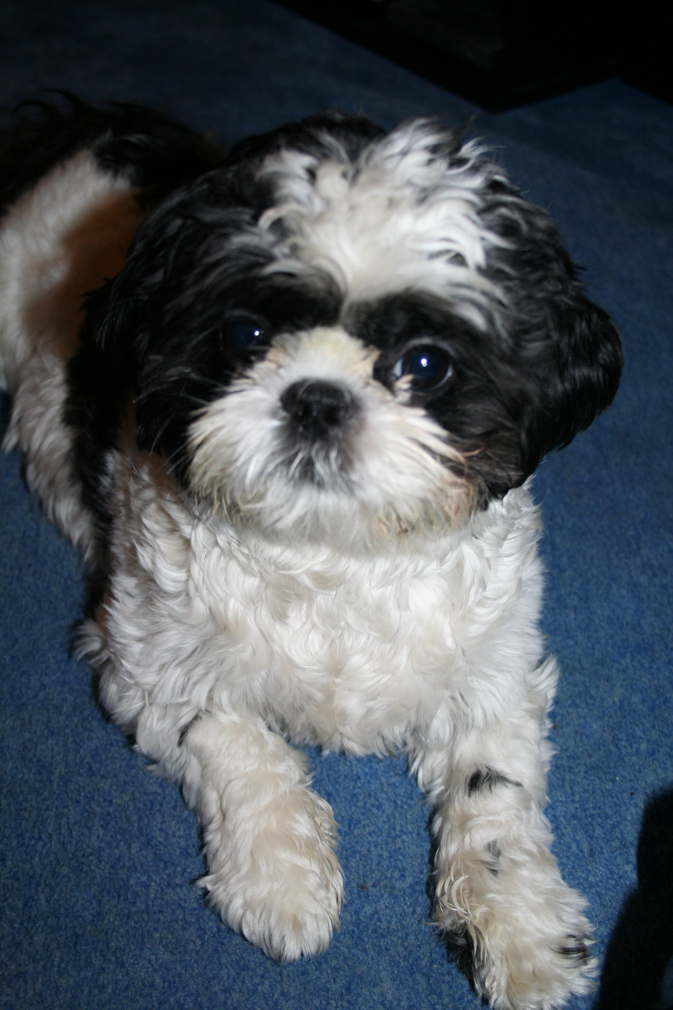 Shih Tzu Free To Good Home Ireland