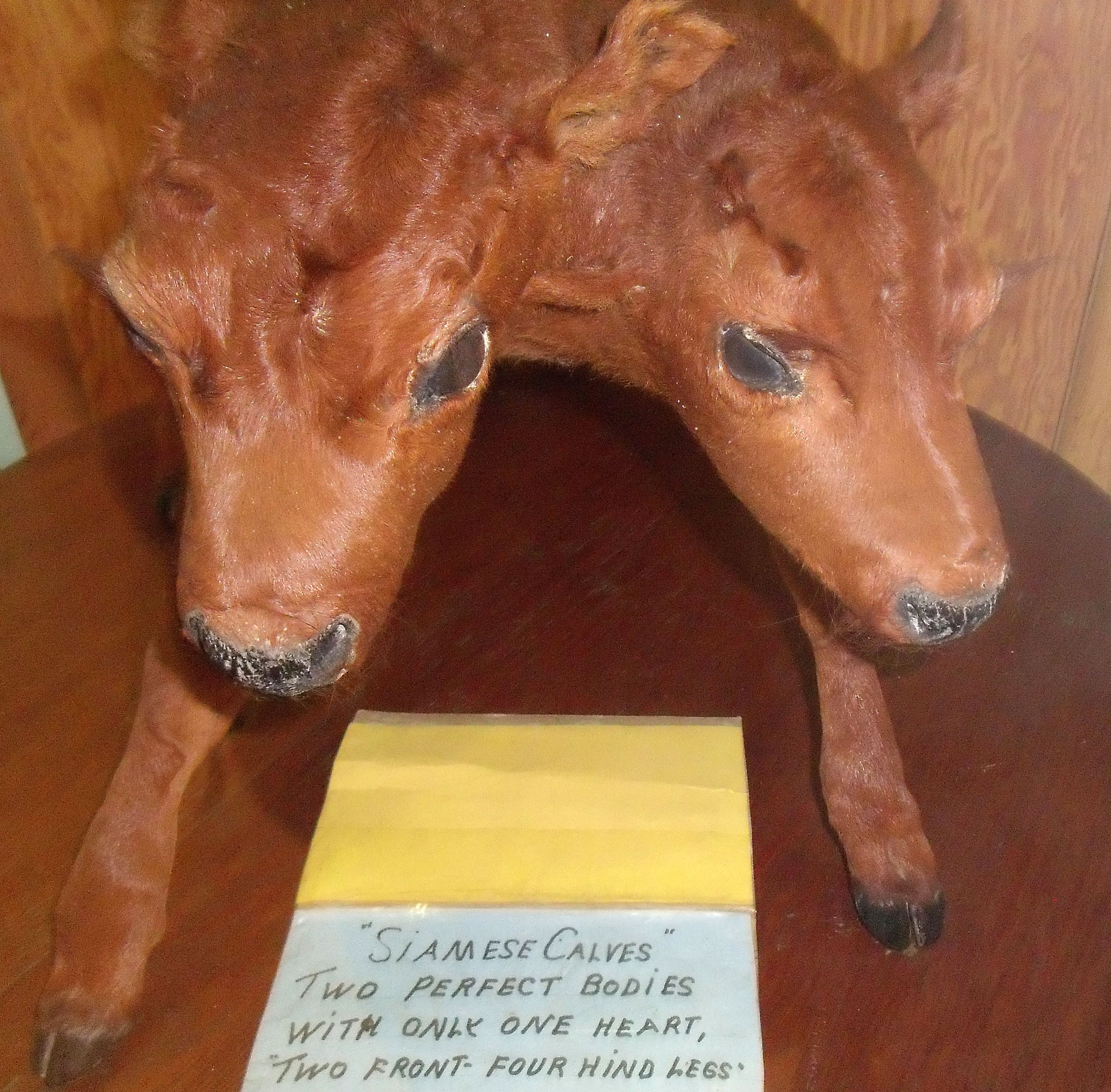 File:Siamese Calves, Born on the farm of Homer Baldwin, St ... Beauregard