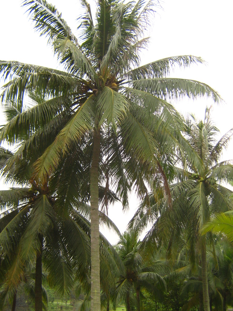 coconut palm simple english the encyclopedia