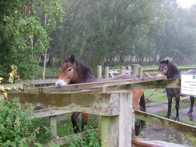 Skipwith Common Ponies - geograph.org.uk - 1188632