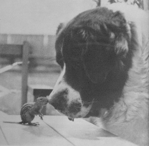 File:St. Bernard playing with a chipmunk by Fritz Conner.jpg