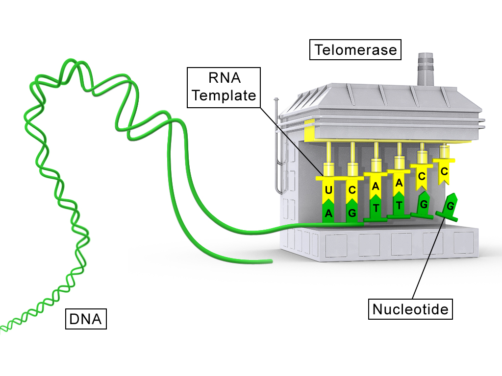 telomerase modified