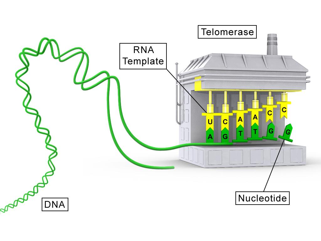 Telomerasen