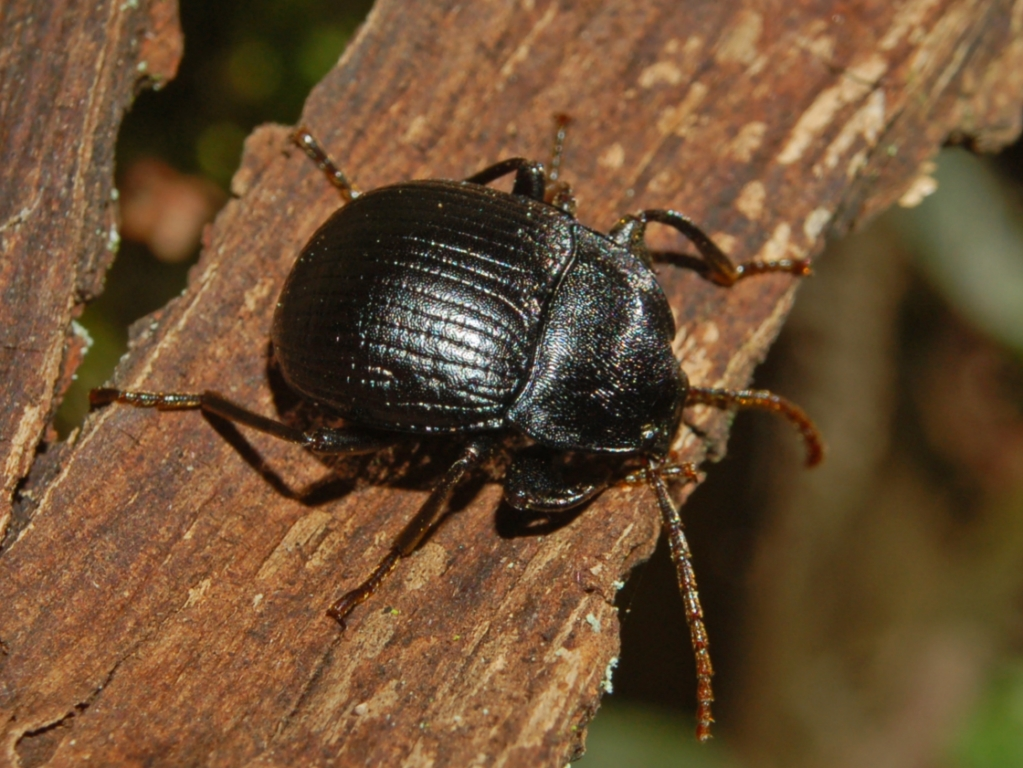 Darkling beetle size - photo#16