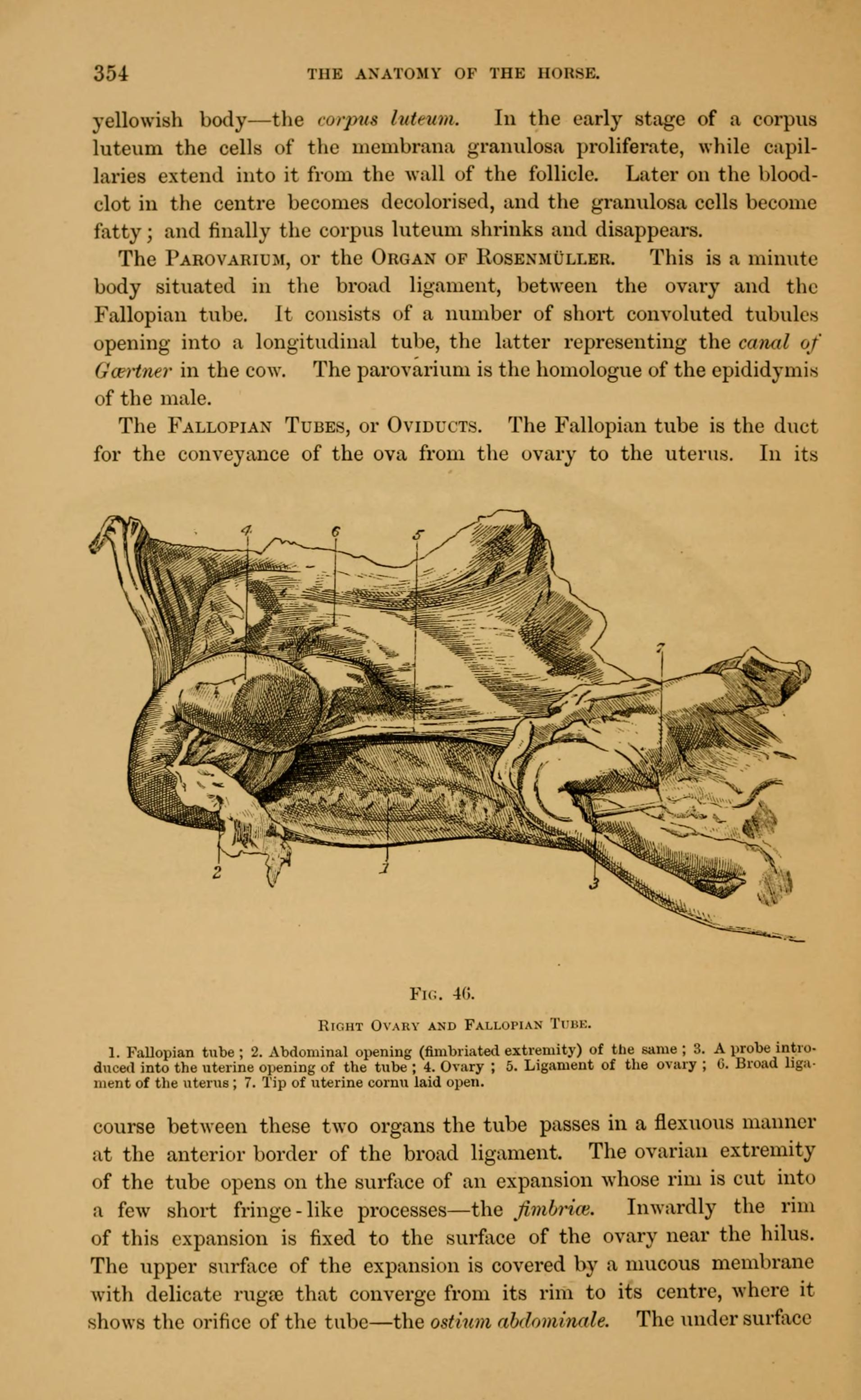 File:The anatomy of the horse (Page 354) BHL19981029.jpg - Wikimedia ...