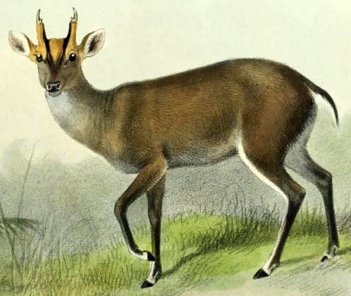 The average litter size of a Fea's muntjac is 1