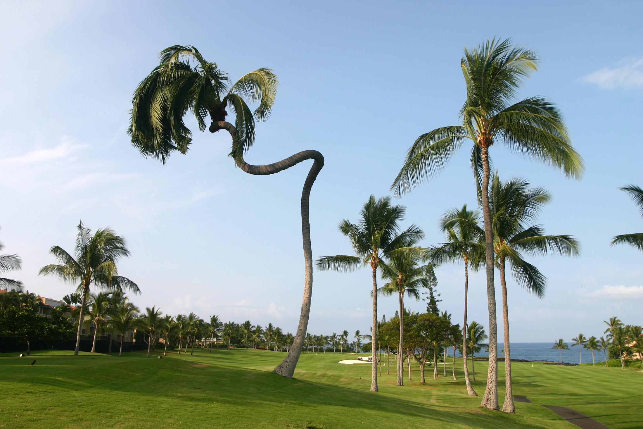 Http Commons Wikimedia Org Wiki File Unusual Arecaceae Big Island Of Hawaii Jpg