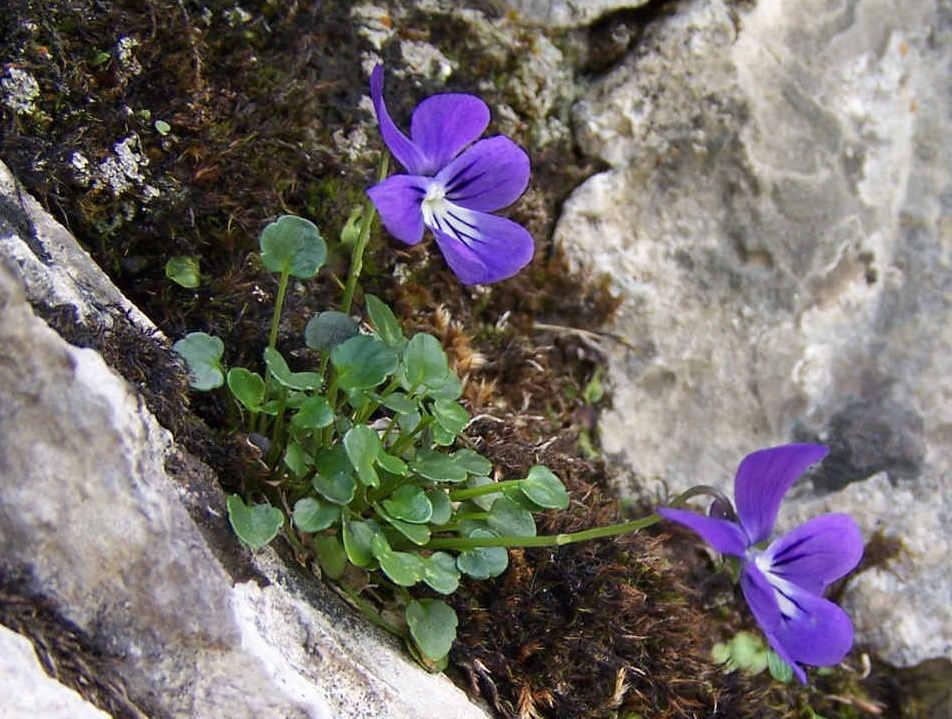 Viola Alpina Wikispecies