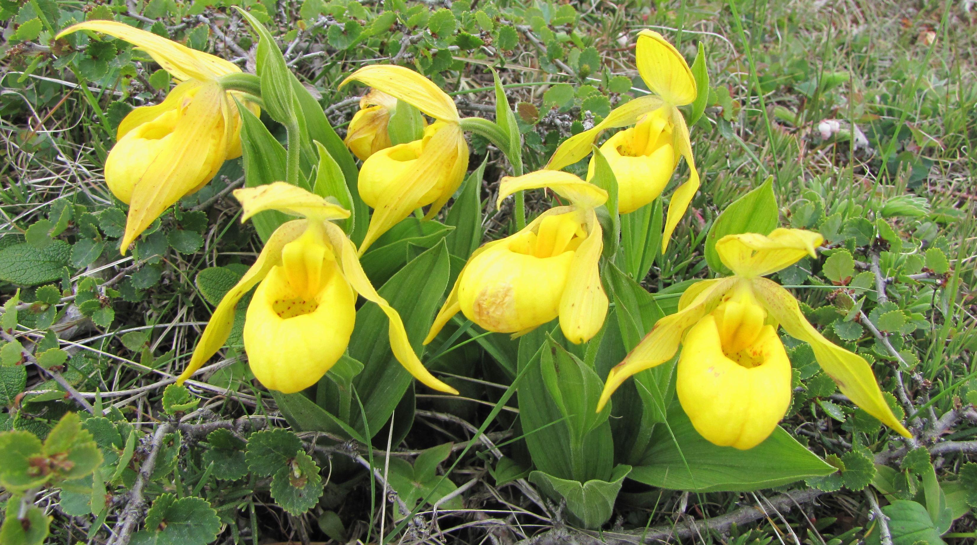 File Yellow Lady S Slippers Port Aux Choix Nl Jpg Wikimedia Commons