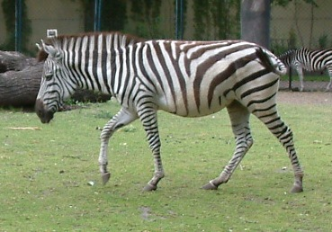 Zebra O Cebra Yahoo Zebra - Wikiped...